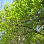 Chêne pédonculé Oak