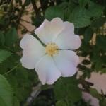 WILD ROSE (Eglantine)